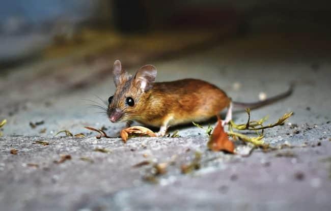 Comment se débarrasser des souris dans vos locaux ?